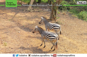 zebra nandankanan